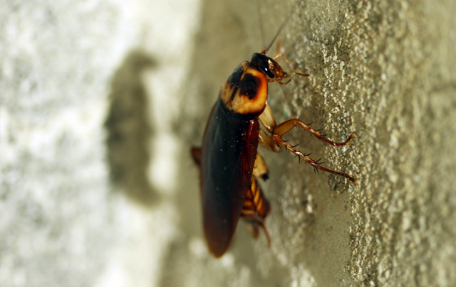 cockroach_pest_control_in_seychelles