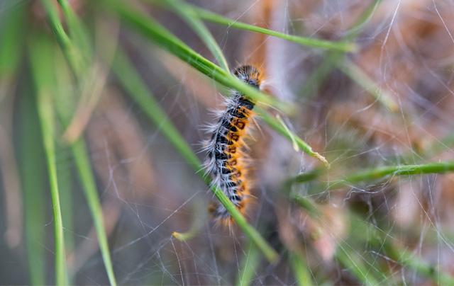 hairy_caterpillar_pest_control_in_seychelles