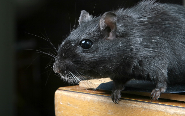 rats_mice_pest_control_in_seychelles