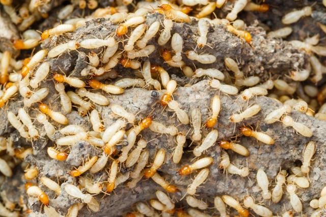 pest-control-in_seychelles_eradicate_termites