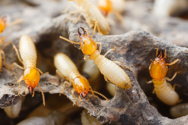 pest-control-in_seychelles_termites_construction