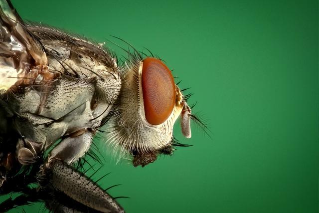 pest-control-in_seychelles_flies_in_seychelles