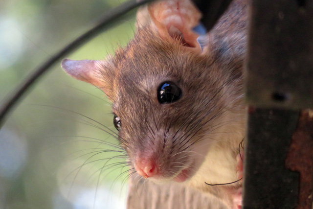 pest-control-in_seychelles_rodents_mice
